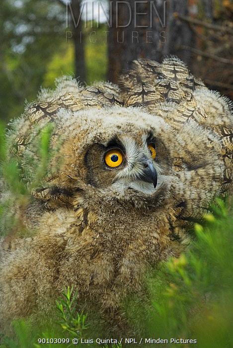 Eagle owl (Bubo bubo) chick, Alentejo, Portugal  -  Luis Quinta/ npl