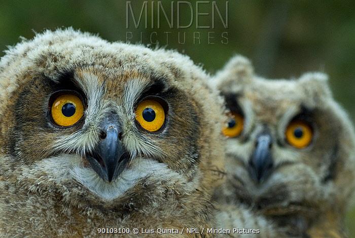 Two Eagle owl (Bubo bubo) chicks, Alentejo, Portugal  -  Luis Quinta/ npl