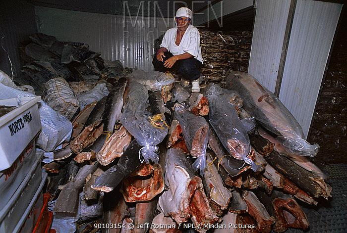 Frozen shark trunks at fish plant, Natal, Brazil, Atlantic Ocean, January 2008  -  Jeff Rotman/ npl