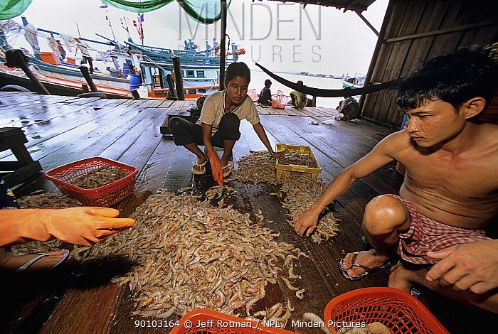 Men sorting shrimp catch at dock, Sihanoukville, Kampuchea, Cambodia, June 2008  -  Jeff Rotman/ npl