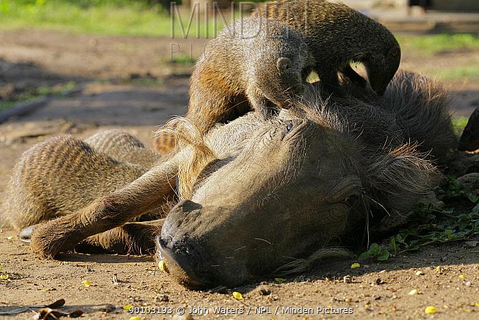 Group of several Banded Mongoose (Mungos mungo) grooming a Warthog (Phacochoerus africanus) looking for ticks, Mweya Lodge, Queen Elizabeth National Park, Uganda, E Africa  -  John Waters/ npl