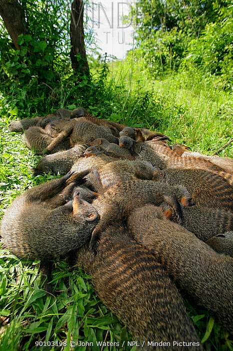 Banded Mongoose (Mungos mungo) large family group resting together in shade during heat of mid-day, Mweya Lodge, Queen Elizabeth National Park, Uganda, E Africa  -  John Waters/ npl