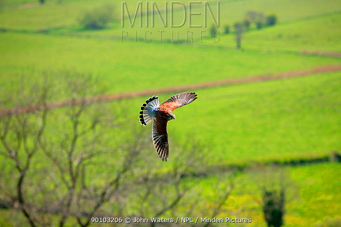Kestrel (Falco tinnunculus) male, trained bird in flight against a backdrop of bare trees and farmland, Somerset Levels, UK  -  John Waters/ npl