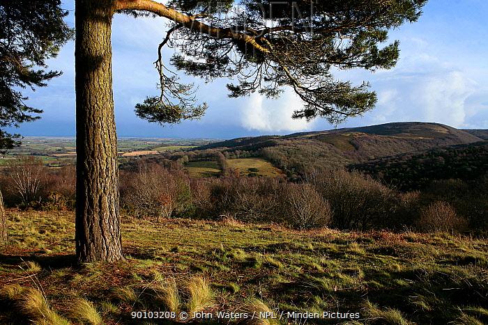 Scots Pine (Pinus sylvestris) with undulating ridge of Quantocks Hills in the background, Somerset, UK  -  John Waters/ npl