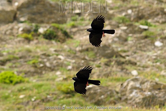 Two Alpine, Yellow-billed choughs (Pyrrhocorax graculus) in flight, Spanish Pyrenees, Hecho valley, Huesca, Spain  -  Nick Upton/ npl