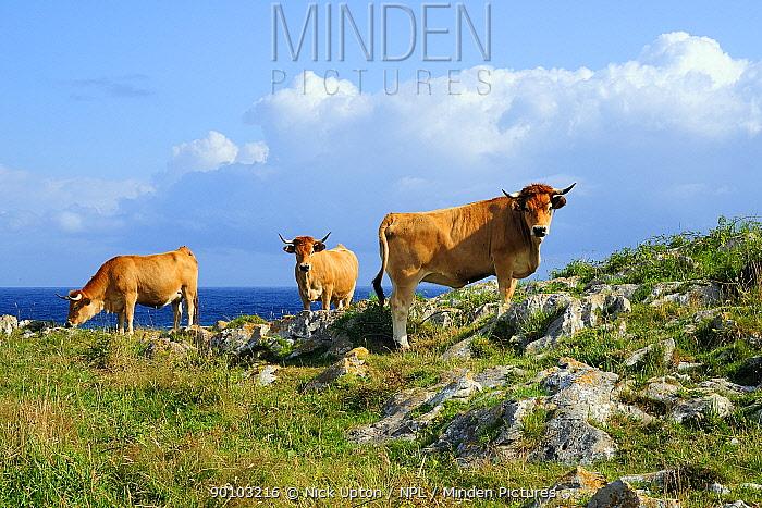 Asturian mountain domestic cattle (Bos taurus) grazing on karst limestone clifftop grassland with Atlantic sea in the background, near Llanes, Asturias, Spain July 2009  -  Nick Upton/ npl