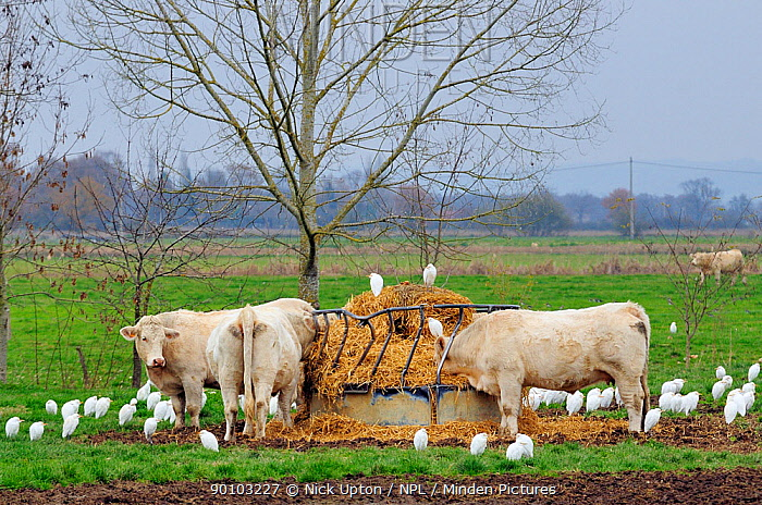 A flock of migrant Cattle egret (Bubulcus ibis), gathering around Charolais domestic cattle (Bos taurus) on a cold wintry morning close to the Pyrenees mountains, near Tarbes, Haute Pyrenees, Gascony, France December 2009  -  Nick Upton/ npl