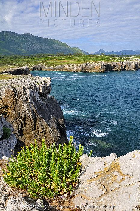 Clifftop flowers, possibly Coastal ragwort (Senecio leucanthemifolius) flowering on limestone sea cliffs at Pria, with Picos d'Europa mountains in the background, near Ribadesella, Asturias, Spain July 2009  -  Nick Upton/ npl