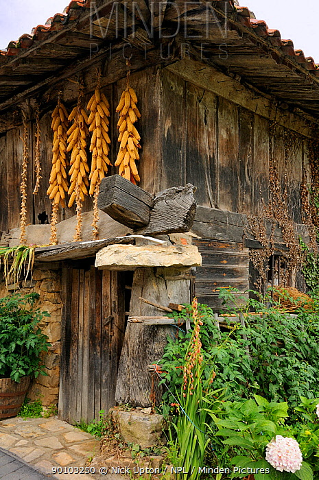 Clusters of maize cobs (Zea mays) hang from a traditional horreo granary on pillars, topped with flat stones mueles to repel rodents, modified to include a ground floor room Cuevas, Picos d'Europa mountains, Asturias, Spain July 2009  -  Nick Upton/ npl