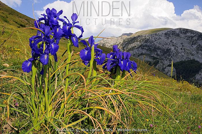 English Iris (Iris latifolia) flowering on Pyreneean mountain meadow Linza, Huesca, Aragon, Spain july  -  Nick Upton/ npl