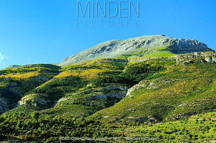 Karst limestone mountain peak with slopes painted yellow with Small flowered gorse (Ulex parviflora) bushes, Spanish Pyrenees, Revilla, Huesca, Aragon, Spain July 2009  -  Nick Upton/ npl