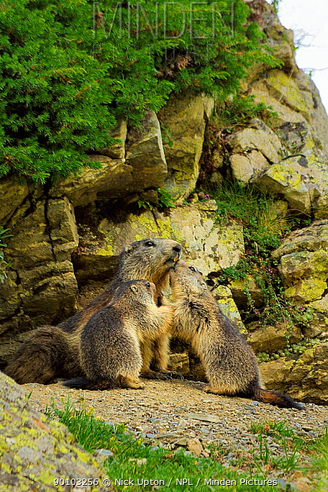 Two young Alpine marmots (Marmota marmota) nuzzling their mother at entrance to burrow, Cirque de Troumouse, Haute Pyrenees, France July  -  Nick Upton/ npl