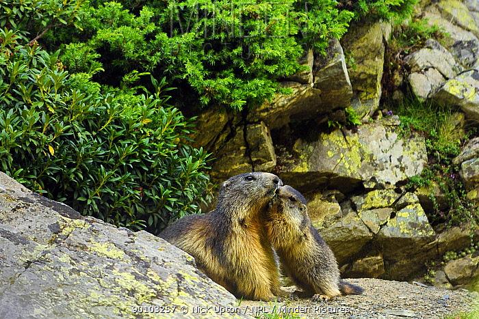 Young Alpine marmot (Marmota marmota) nuzzling mother at entrance to burrow, Cirque de Troumouse, Haute Pyrenees, France July  -  Nick Upton/ npl