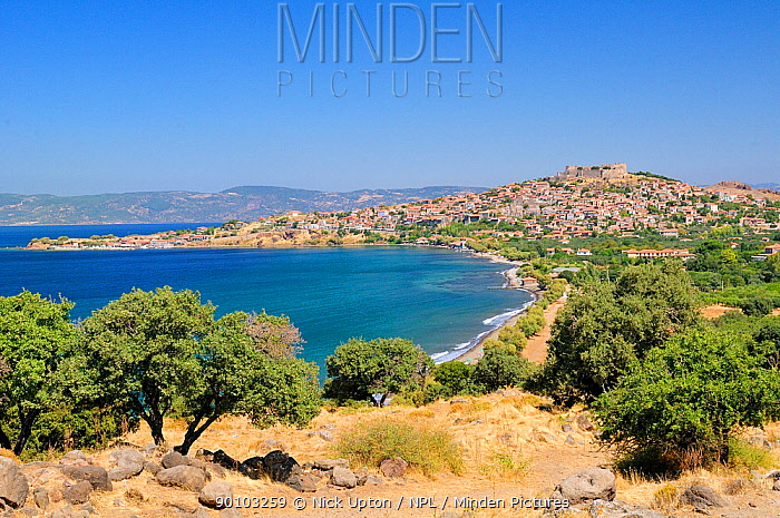 View of Molyvos city (Mithymna) and hilltop medieval Byzantine castle with olive trees in the foreground, Isle of Lesbos, Lesvos, Greece August 2009  -  Nick Upton/ npl