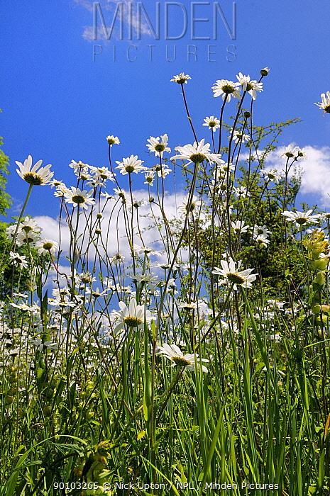 Ox eye, Marguerite daisies (Leucanthemum vulgare) flowering on limestone grassland, Wiltshire, UK June 2009  -  Nick Upton/ npl
