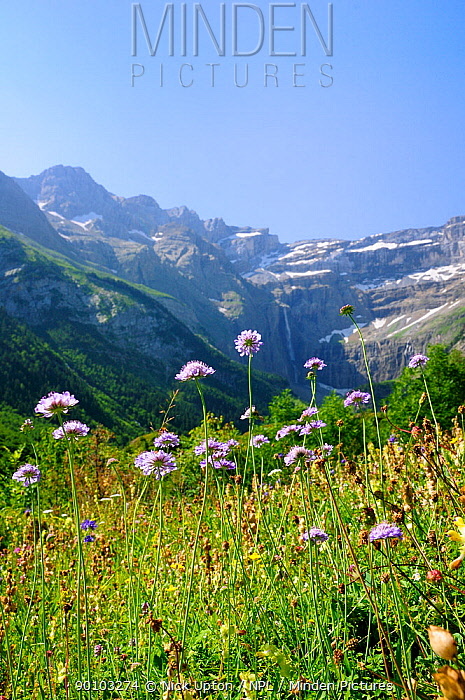 Small scabious (Scabiosa columbaria) flowering at the Cirque de Gavarnie, Haute Pyrenees, France July 2009  -  Nick Upton/ npl