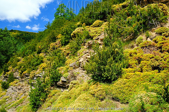 Layered limestone mountain slope covered with Small flowered gorse (Ulex parviflora) bushes, Spanish Pyrenees, Huesca, Aragon, Spain July 2009  -  Nick Upton/ npl