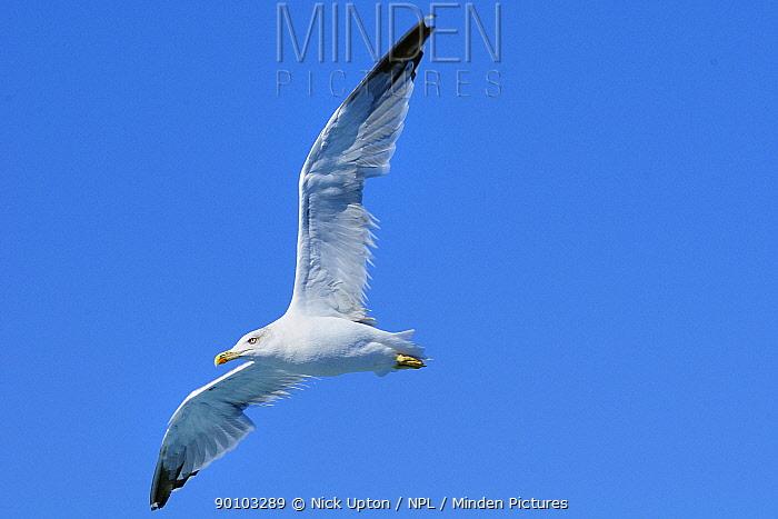 Yellow legged gull (Larus cachinnans) in flight, between Isle of Lesbos, Lesvos, Greece and Turkey August  -  Nick Upton/ npl