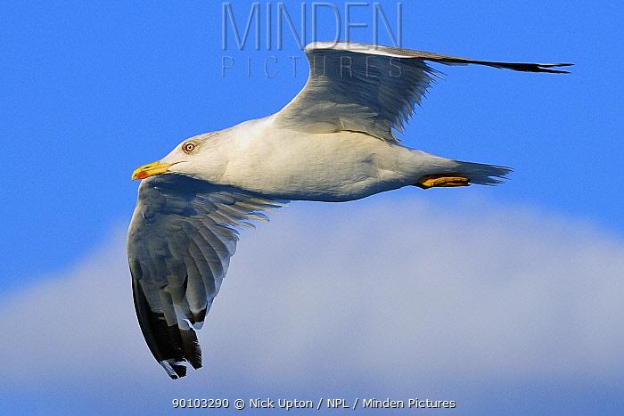 Yellow legged gull (Larus cachinnans) in flight between Isle of Lesbos, Lesvos, Greece and Turkey August  -  Nick Upton/ npl