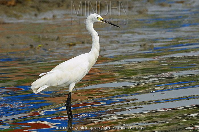 Little egret (Egretta garzetta) hunting fish in a tidal creek with reflections of colourful fishing boats, Danshuei river estuary, Danshuei, Danshui, Taiwan  -  Nick Upton/ npl