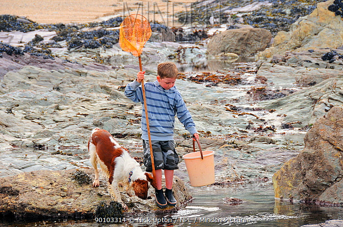 Domestic dog, Springer spaniel (Canis familiaris) and child with fishing net and bucket peer into a rock pool Cornwall, UK Model released, April 2009  -  Nick Upton/ npl