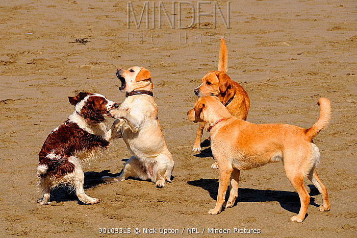 Domestic dogs (Canis familiaris), Springer spaniel play fighting with a Golden labrador retriever, watched by two more retrievers Cornwall, UK, April 2009  -  Nick Upton/ npl