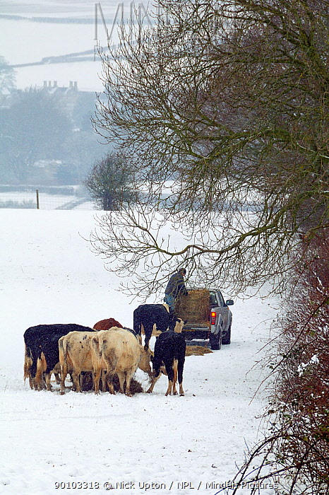 Farmer providing hay for Domestic cattle (Bos taurus) on snow covered pastureland as, Wiltshire, UK, January 2010  -  Nick Upton/ npl