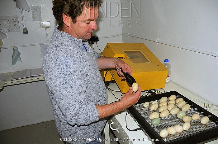 Nigel Jarrett, Aviculture manager, candling a mallard egg (Anas platyrynchos) taken from an egg-turning incubator full of duck eggs, WWT Slimbridge, UK, May 2009  -  Nick Upton/ npl
