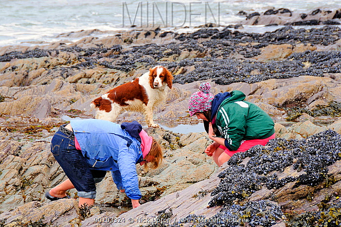 Mother and daughter peering into rock pool on shore, watched by springer spaniel (Canis familiaris) Cornwall, UK, Model released, April 2009  -  Nick Upton/ npl