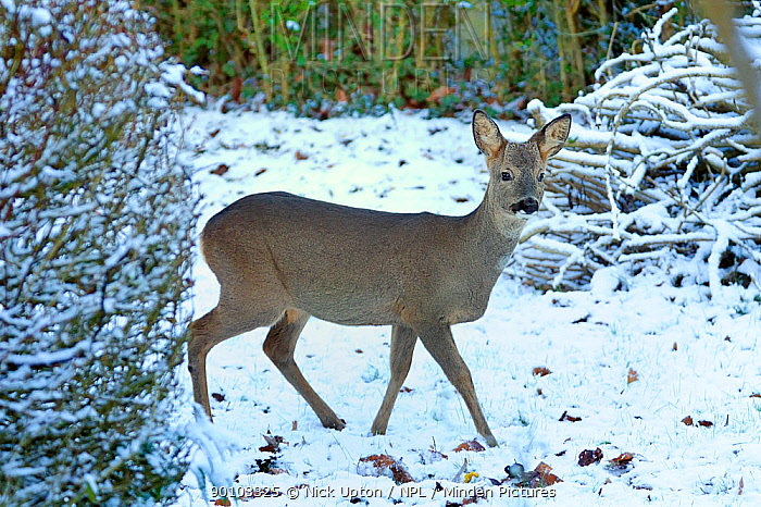 Roe deer (Capreolus capreolus) buck in winter in a snow covered garden Wiltshire, UK, December 2009  -  Nick Upton/ npl