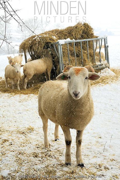 Horn Minden minden pictures stock photos wiltshire horn domestic sheep ovis