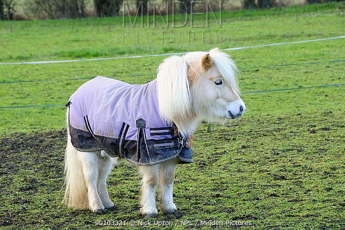 Shetland pony (Equus caballus) wearing winter rug Hertfordshire, UK, December 2009  -  Nick Upton/ npl