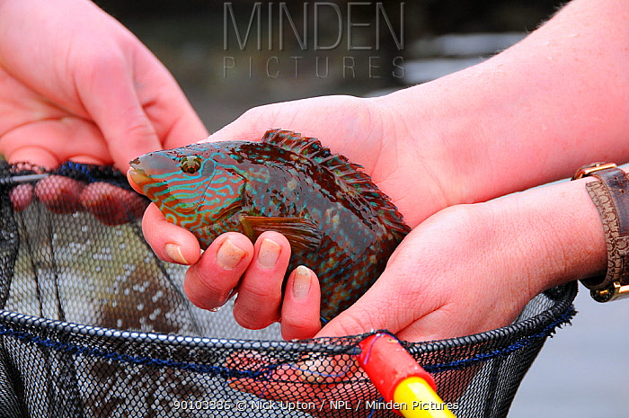Rock cook, Small mouthed wrasse (Centrolabrus exoletus) caught in a rock pool on a low tide, being taken out of a fishing net Cornwall, UK  -  Nick Upton/ npl
