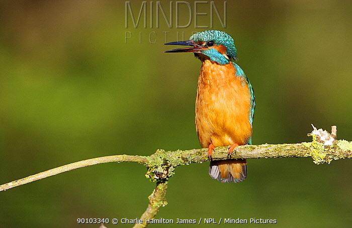 Kingfisher (Alcedo atthis) Adult female, Threat displaying, Halcyon River England, UK  -  Charlie Hamilton James/ npl