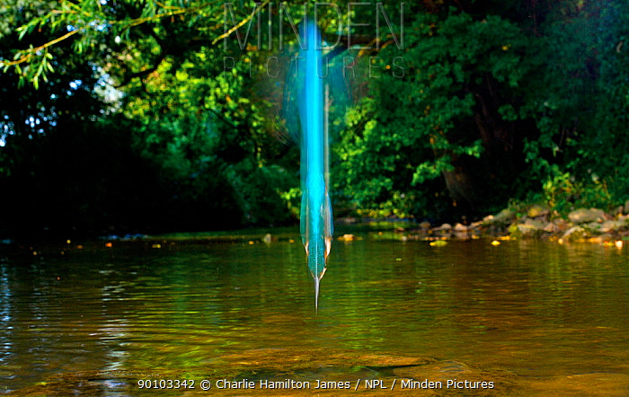 Common kingfisher (Alcedo atthis) diving abstract, South Gloucestershire, England  -  Charlie Hamilton James/ npl