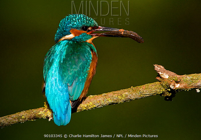 Kingfishers (Alcedo atthis) adult male with fish turned ready to courtship feed to female, Halcyon River, England, uk  -  Charlie Hamilton James/ npl