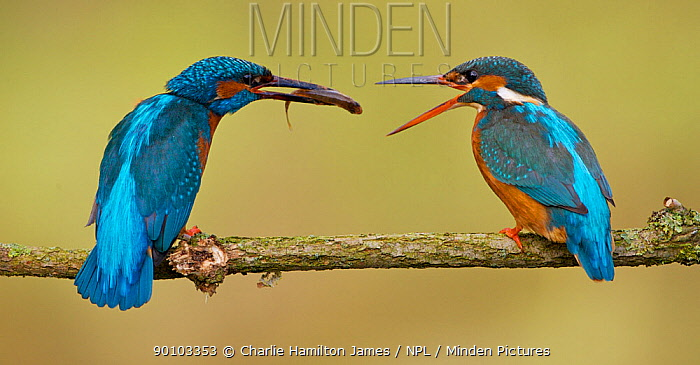 Kingfisher (Alcedo atthias) adult male (left) courting female (right) with a fish A fish pass is the point at which a female accepts a mate for the season Halcyon River, Gloucestershire, England  -  Charlie Hamilton James/ npl