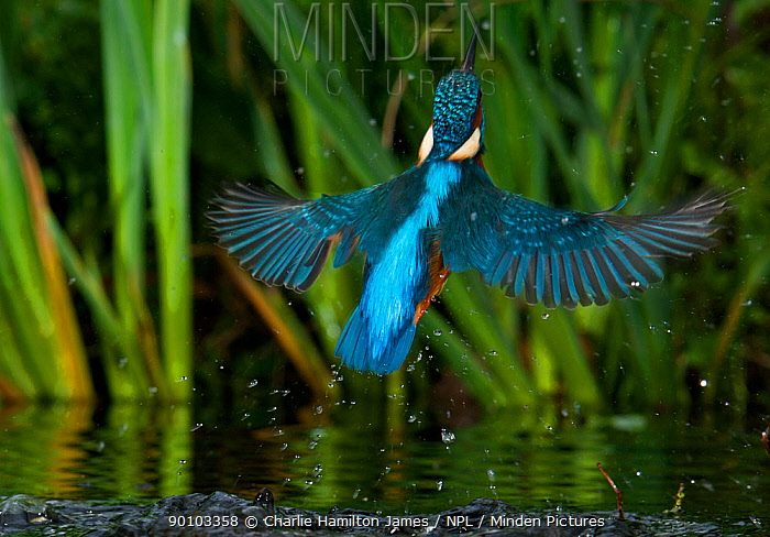 Kingfisher (Alcedo atthis) adult male erupting out of water, Halcyon River, Gloucestershire, England  -  Charlie Hamilton James/ npl