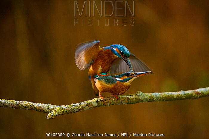 Kingfishers (Alcedo atthis) mating pair (male on top), Halcyon River, Gloucestershire, England  -  Charlie Hamilton James/ npl
