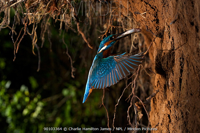 Kingfisher (Alcedo atthias) adult male flying into nest with fish Halcyon River, Gloucestershire, England  -  Charlie Hamilton James/ npl