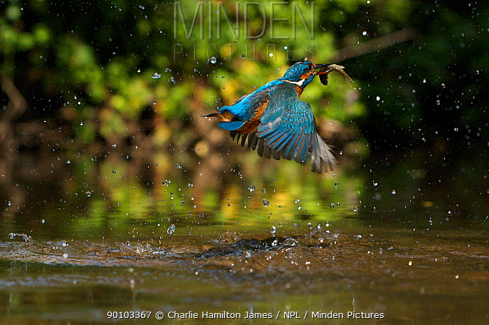 Kingfisher (Alcedo atthis) adult female erupting out of water with fish in beak, Halcyon River, Gloucestershire, England  -  Charlie Hamilton James/ npl
