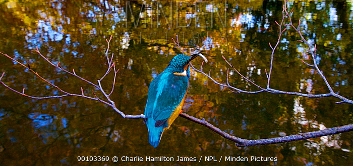 Kingfisher (Alcedo atthias) adult male in autumn with fish Halcyon River, Gloucestershire, England  -  Charlie Hamilton James/ npl