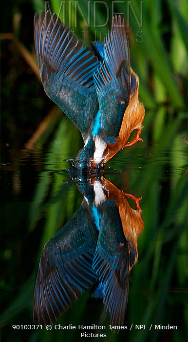Kingfisher (Alcedo atthias) adult male diving into water, Halcyon River, Gloucestershire, England  -  Charlie Hamilton James/ npl