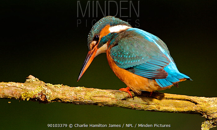 Kingfisher (Alcedo atthias) adult female searching for fish Halcyon River, Gloucestershire, England  -  Charlie Hamilton James/ npl