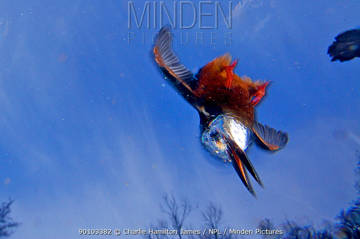 Kingfisher (Alcedo atthias) underwater view of adult male diving, Halcyon River, Gloucestershire, England  -  Charlie Hamilton James/ npl