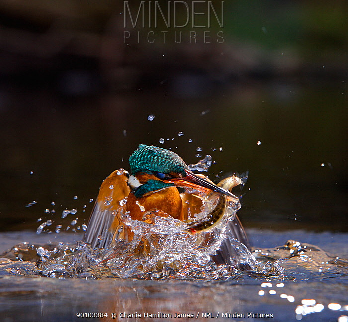 Kingfisher (Alcedo atthis) erupting out of water with fish in beak, Halcyon River, Gloucestershire, England  -  Charlie Hamilton James/ npl