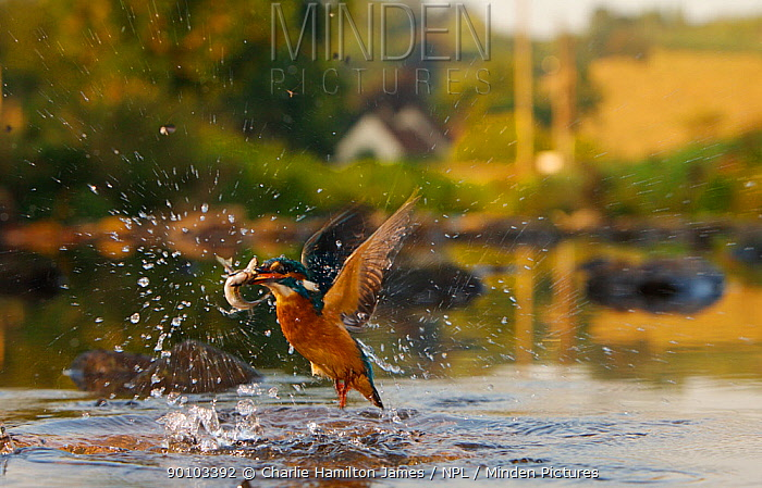 Kingfisher (Alcedo atthis) subadult female erupting out of water with fish in beak, Halcyon River, Gloucestershire, England  -  Charlie Hamilton James/ npl