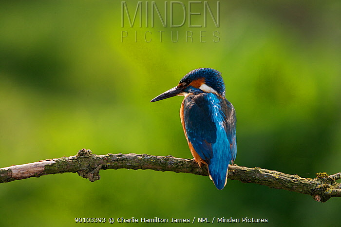 Kingfisher (Alcedo atthias) adult male Halcyon River, Gloucestershire, England  -  Charlie Hamilton James/ npl
