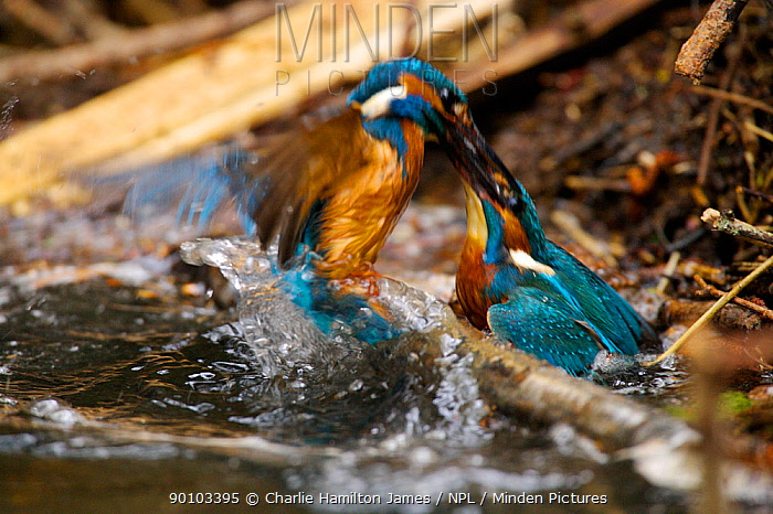 Kingfisher (Alcedo atthias) adult males fighting over territory Halcyon River, Gloucestershire, England  -  Charlie Hamilton James/ npl