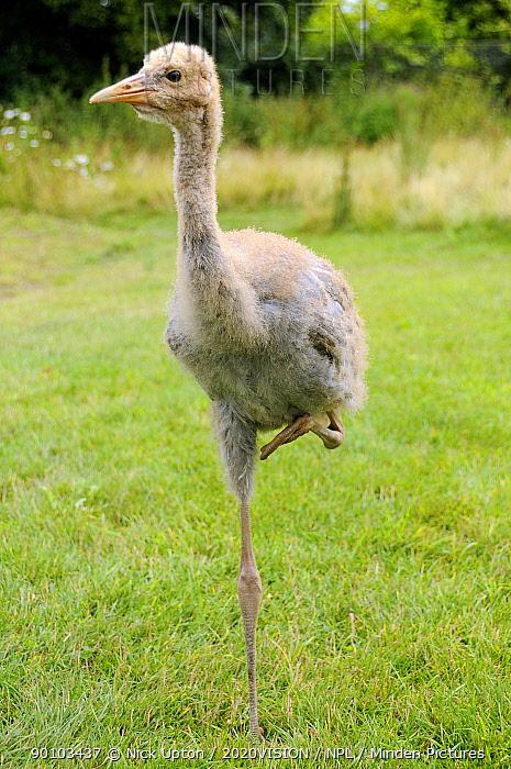 Ten week old captive reared Common crane chick (Grus grus) standing on one leg, WWT Slimbridge, Gloucestershire, UK  -  Nick Upton/ npl